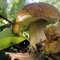 Белый гриб. :: Александр Крылов