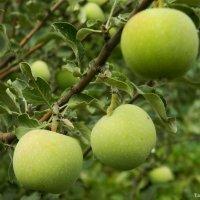 почти готовые яблочки) :: Таня Новикова