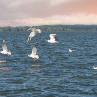 чайки на закате :: Александр Беляков