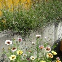 Клумба цветов. Лето 2015 г.. :: Светлана Калмыкова