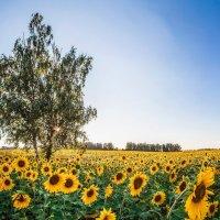 поле подсолнухов :: Александр Лапшин