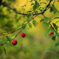 Яркие сочные ягоды :: Анастасия Санько