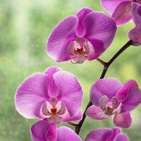 Ветка орхидеи :: Ирина Приходько
