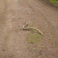 Змея :: Татьяна Калинина