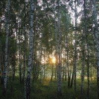 Солнце сквозь стволы берёз. :: Борис Митрохин