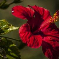 цветок :: Александр Альтшулер