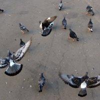 Попытка поднять на крыло ленивых голубей :: Александр Калинин