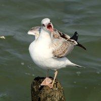 Крикливая чайка :: Татьяна Беляева