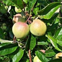 Лесные яблочки. :: Валерия Комова