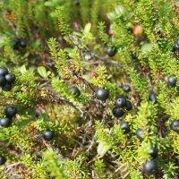 Шикша – удивительная ягода, чудесное растение, подаренное нам природой. :: Елена Павлова (Смолова)