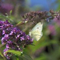 Из многообразия бабочек :: Anna S.