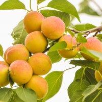 Сибирские абрикосы. :: юрий Амосов