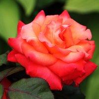 Монастырские розы :: Nikolay Monahov