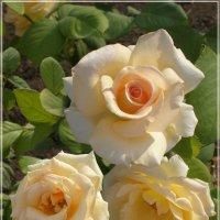 Крымские розы :: Эля Юрасова