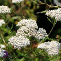 Тысячелистник обыкновенный (Achillea millefolium). :: Валентина ツ ღ✿ღ
