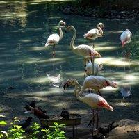 Стая фламинго :: Владимир Бровко