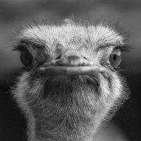 Портрет страуса :: Михаил Вандич