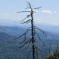 Сухая сосна на вершине горы Салоп. Горный Алтай. :: Ольга