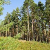 Лес на Карельском перешейке :: Елена Павлова (Смолова)