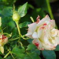 Цветы июля. :: Юрий Шувалов