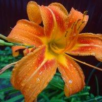 Июль,дождь,лилия... :: Тамара (st.tamara)