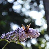 Бджілка :: Степан Карачко