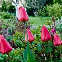 Тюльпаны :: Genych Bartkus