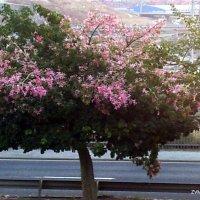 Хоризия в цвету. :: Валерьян