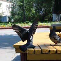 голуби :: Ольга (Кошкотень) Медведева