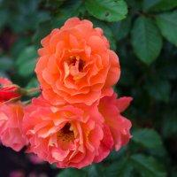 « Почему так сладко пахнут розы, Принося сумятицу в сердца?...» :: Андрей Нибылица