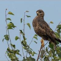 Гордый птиц :: Анна Солисия Голубева