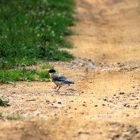 Птенец голубой сороки :: Ольга Ушакова