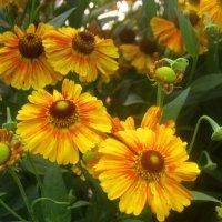 Цветы лета :: Елена Семигина