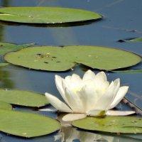 Там лилии цветут. Но это озеро не пруд. :: Владимир Гилясев