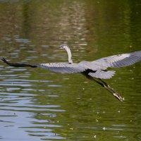 Цапля Голубая - Blue Heron :: Яков Геллер