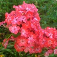 Яркие цветы лета :: Елена Семигина