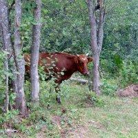 Лесная корова :: Вера Щукина