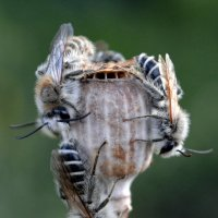 Пчелы едят мак :: trutatiana .