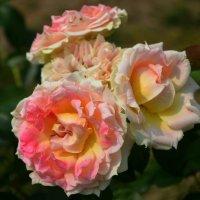 Розы :: Ростислав