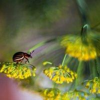 Колорадский жук :: Антон Лихач