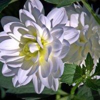 белые цветы :: Августа