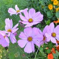 Розовый август. :: zoja