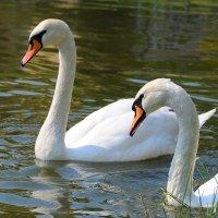 Белые красавцы :: Андрей Куприянов