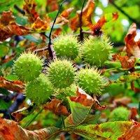 На ветвях, как свечи в канделябрах, ёжики зелёные сидят. :: Валентина ツ ღ✿ღ