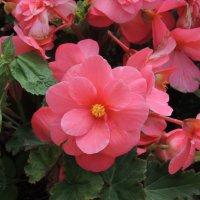 розовые розы.. :: Евгения Чередниченко