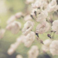 Flowers :: Anna Belova