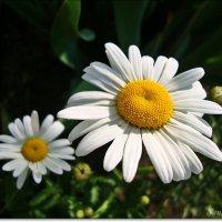 Лицом к солнцу :: Лидия (naum.lidiya)