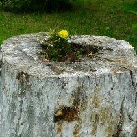 Природная ваза. :: Александр Атаулин