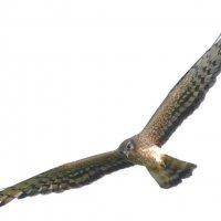 пташка :: sergej-smv