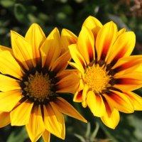 Солнышки в саду :: Ирина Кураж